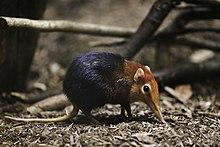 elephant shrew- wikipedia
